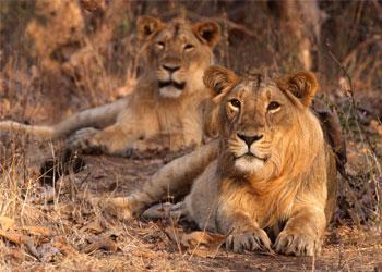 Gir Safari Booking